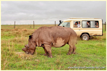 The Northern White Rhino - almost as big as the jeep!