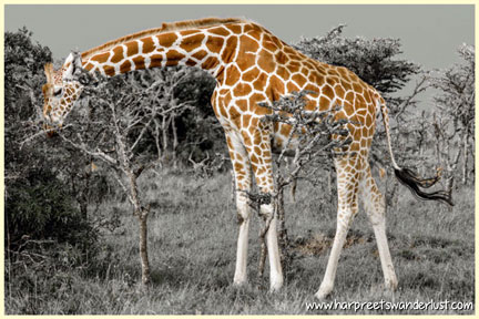 A beautiful giraffe, on the Sweetwaters plains