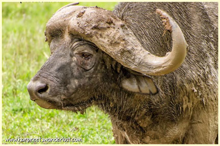 A close up of one of the buffalo on the plains