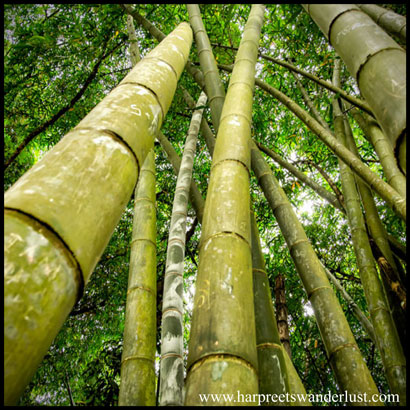 Bamboo Forest at Peradeniya, home to one of the oldest Bamboo Tree's in the world…