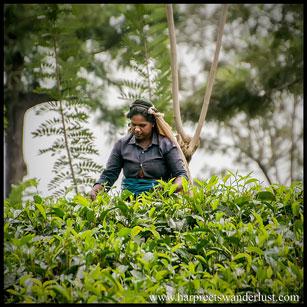 A Tamil Tea picker