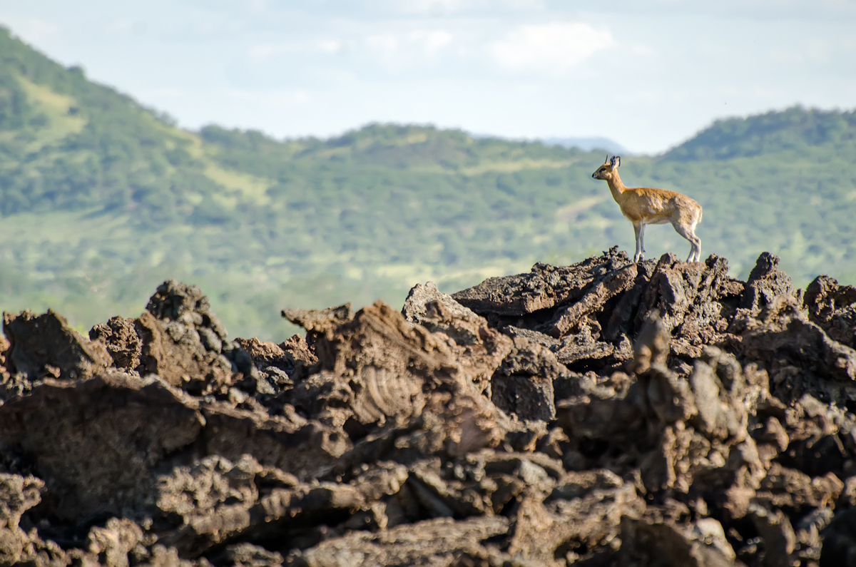 A Klipspringer perched atop a formation in Shetani
