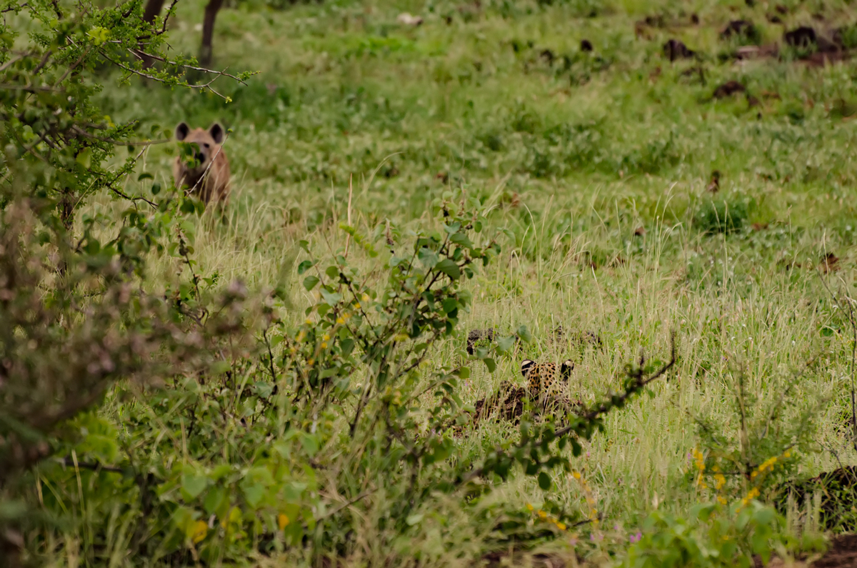 You can see the hyena, but can you spot the leopard?