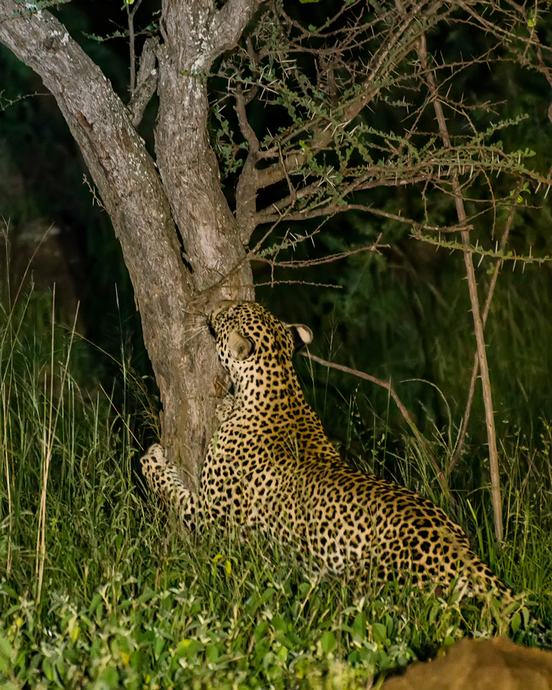 Amazing sight...leopard scratches the tree!