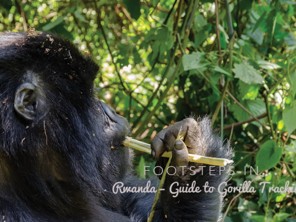 Footsteps in Rwanda...Guide to Gorilla Tracking