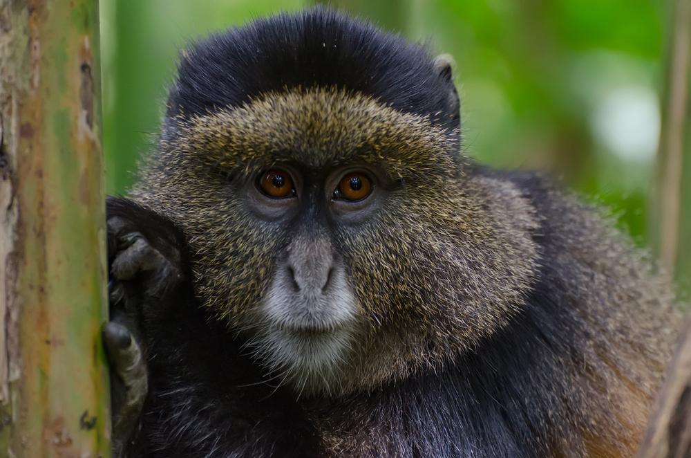 Golden Monkeys of Central Africa