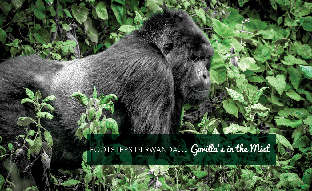 Footsteps in Rwanda…tracking the Gorilla's in the Mist