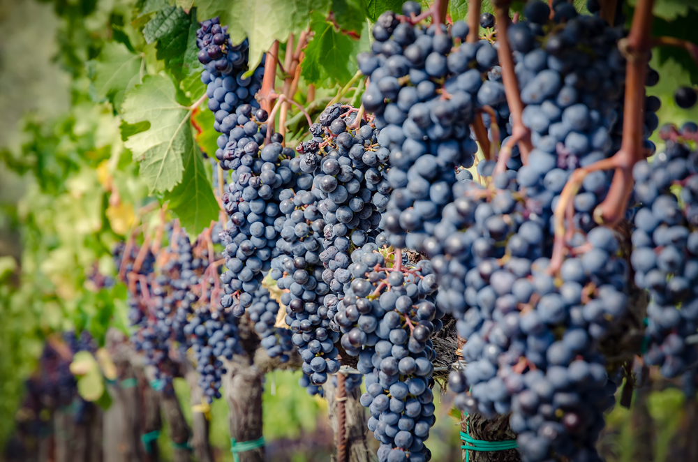 Sangiovese grapes ready for harvesting