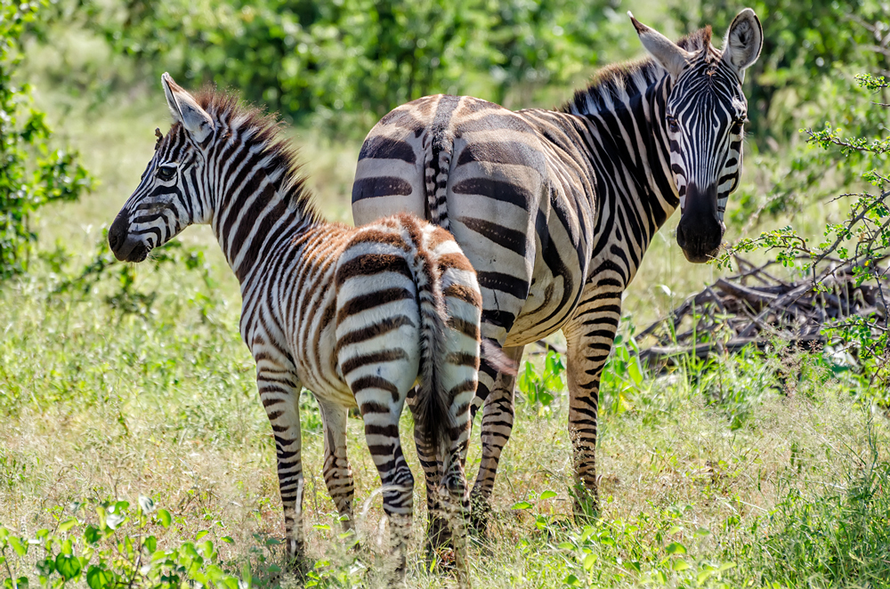Dazzling zebras