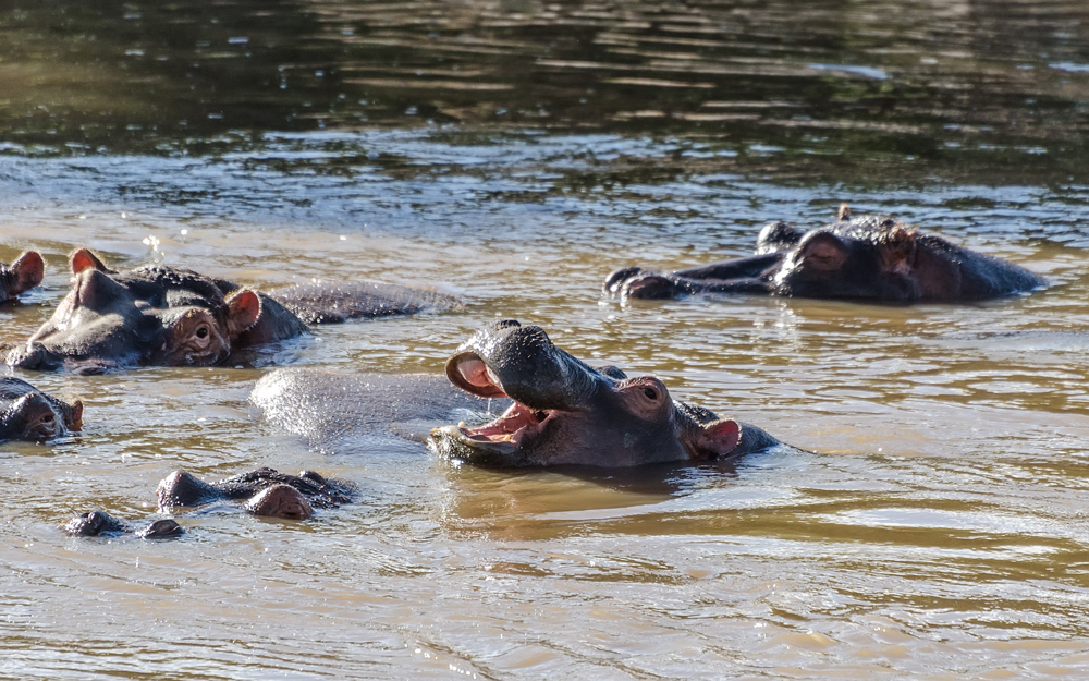 Hippos float around at the Hippo Pool