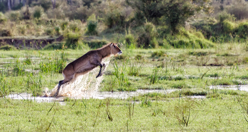 Waterbuck shimmying across water