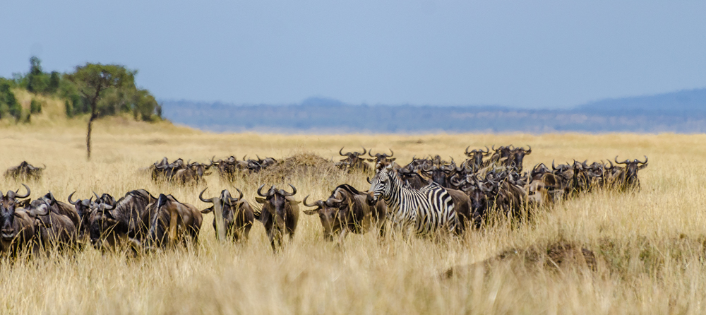 Wildebeeste and Zebra in the plains of the Mara