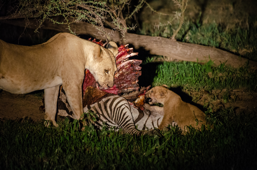 A pride of lions feast on their zebra kill