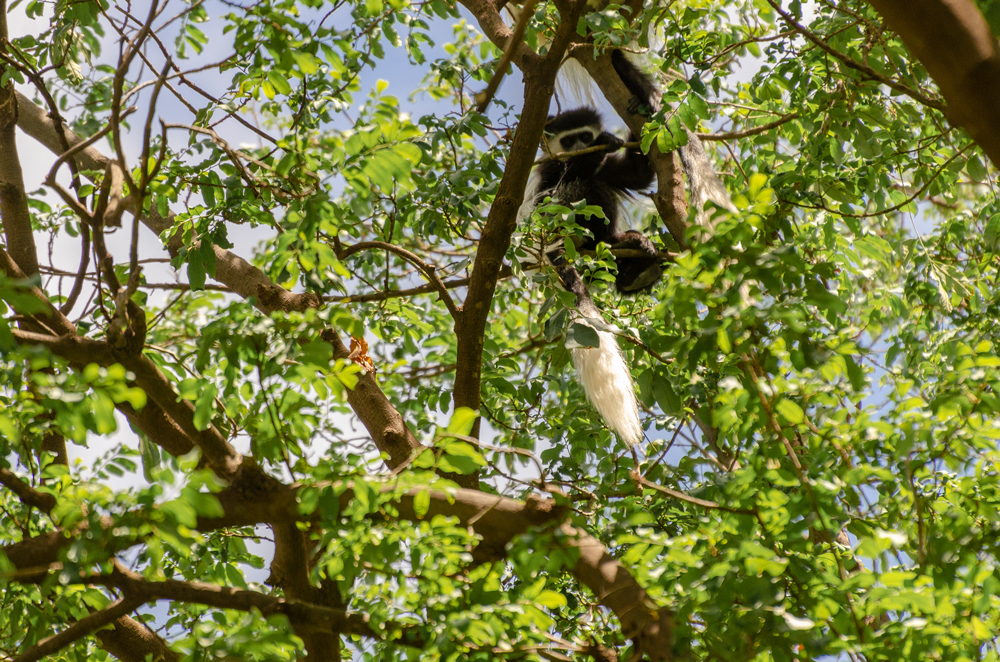 Colobus Monkey in the forest - Olkiramatian Conservancy