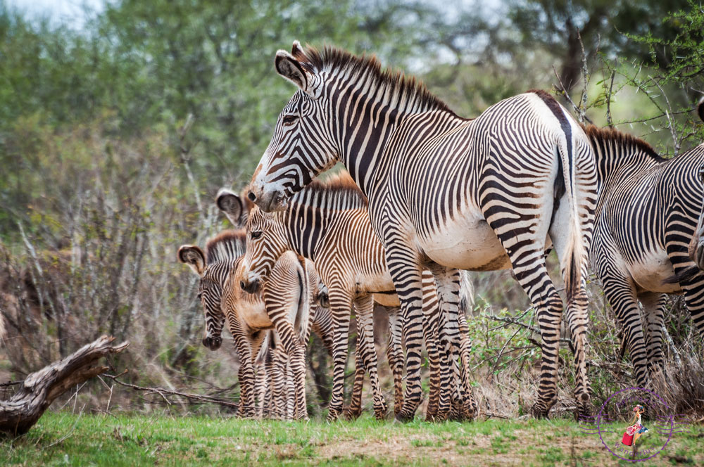 The endangered Grevy's Zebra